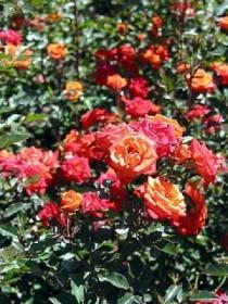 Maggio ad Ischia, l'isola delle rose