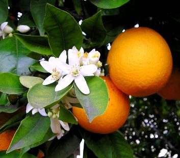 Profuma d'arancio il Natale ischitano: il Roccocò