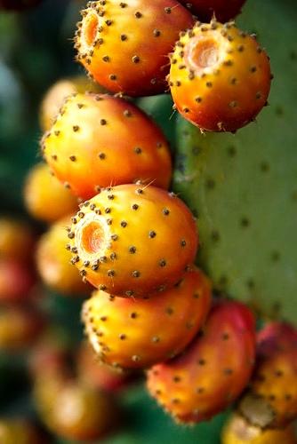Rossi ed arancio: fichi d'India, frutto mediterraneo