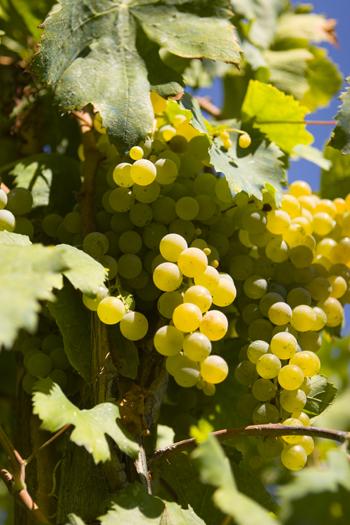Un antico strumento per pigiare l'uva: la pietra del palmento
