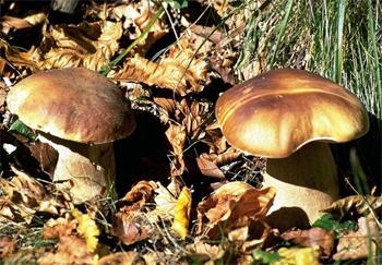 Autunno tempo di raccolta: i funghi dei boschi ischitani