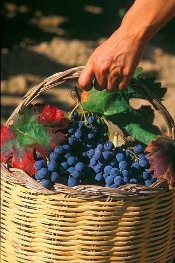 I vini profumati delle colline ischitane